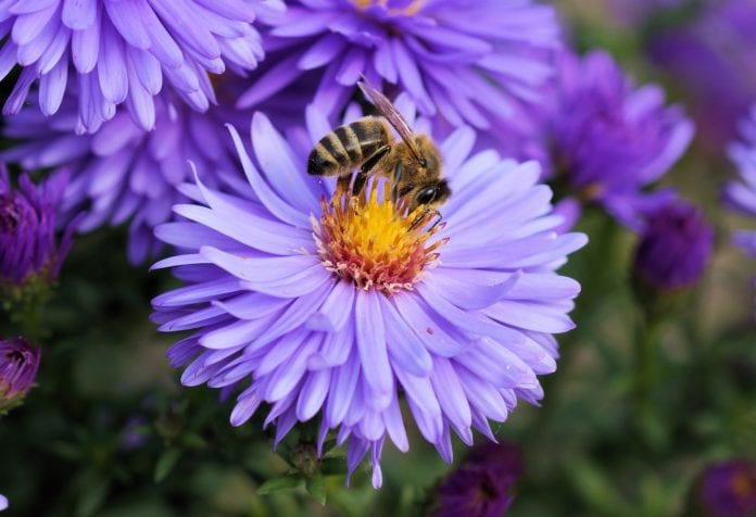 galway daily news bees Marine institute goes green to help bees and wildflowers