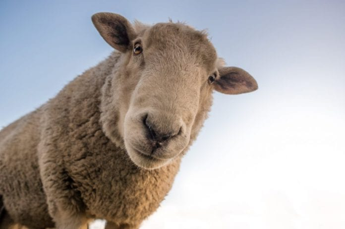 Galway Daily news Galway farmer fined €1 in sheep pen prosecution
