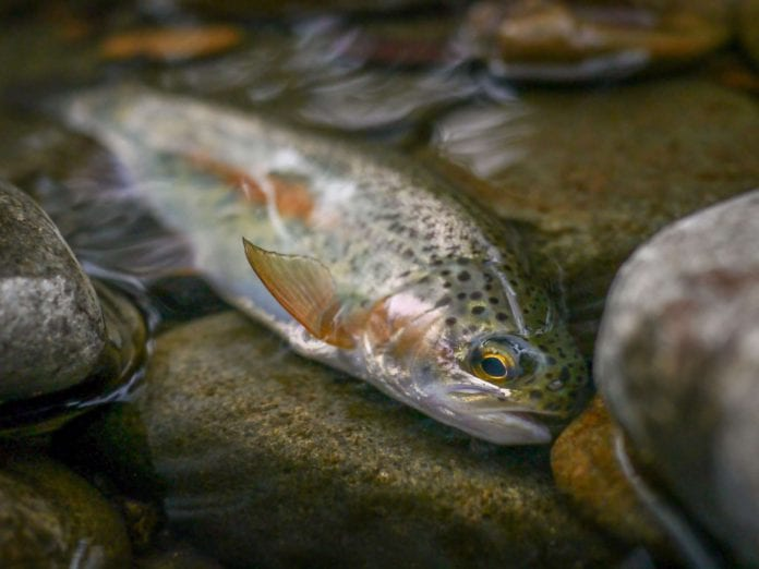 Galway Daily news Temperatures in Owenriff river lethal to fish during heatwave