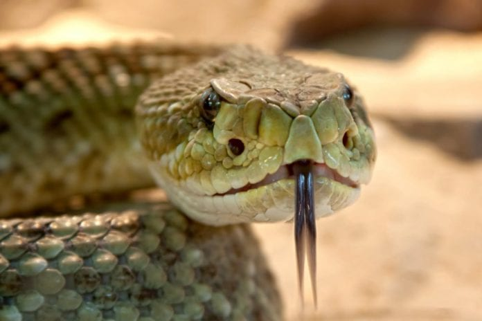 Galway Daily news NUI Galway scientists crack the secrets of snake venom
