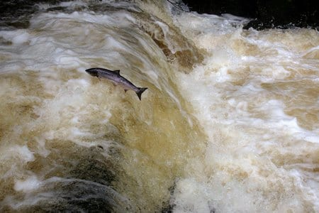 Galway Daily news Farmed salmon in Connemara river a