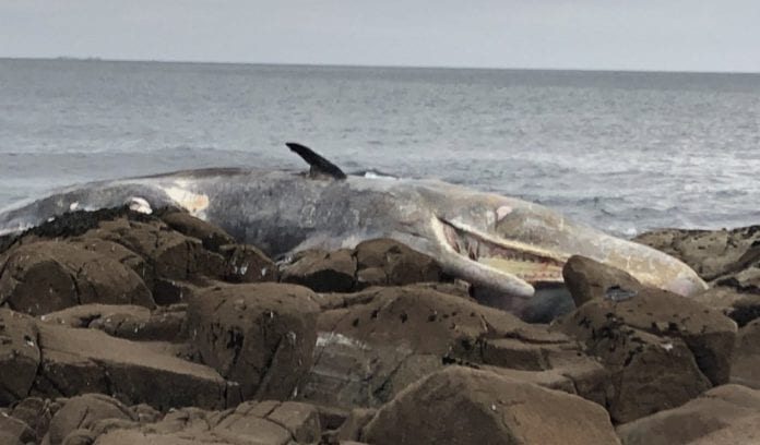 Galway Daily news 40ft sperm whale washes ashore in Connemara