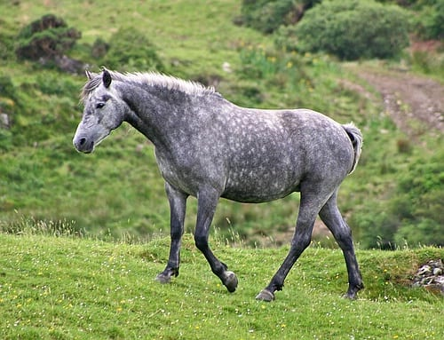 Galway daily news Connemara Pony exchanged with rare breeds farm in conservation effort