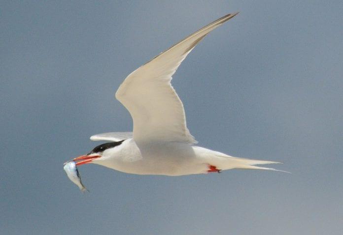 common tern bird galway daily