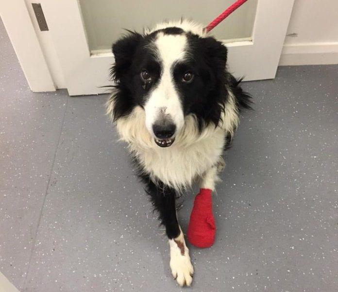 Galway Daily news injured dog needs leg amputated