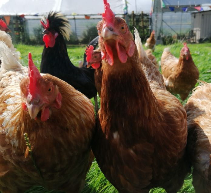 rescued hens galway daily
