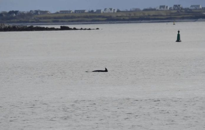 Galway Daily news Nimmo the dolphin returns to Galway Bay