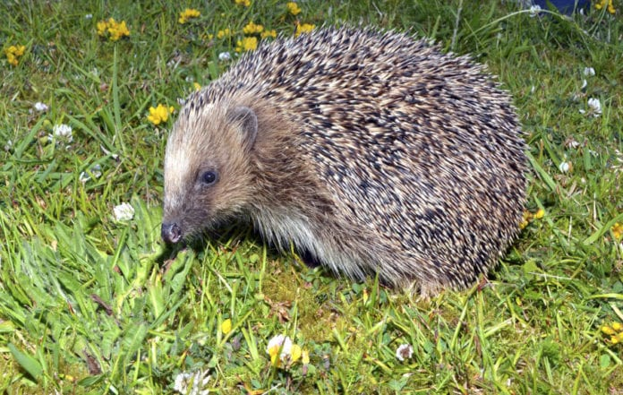 hedgehog galway daily news nuig animal
