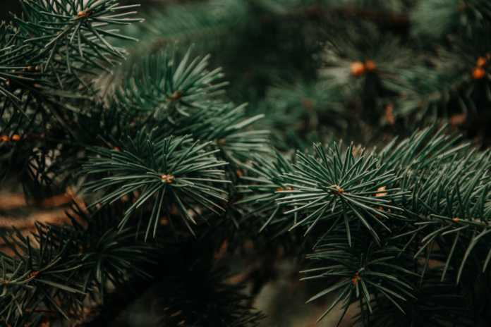 Galway Daily environment County Council offering free Christmas Tree recycling