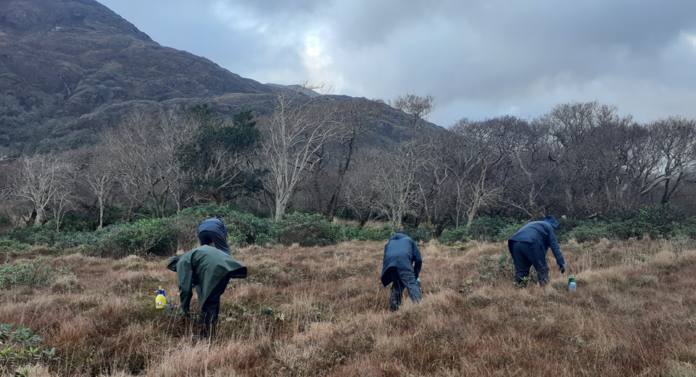 Galway Daily news €500k allocated to clear rhododendron from Connemara National Park