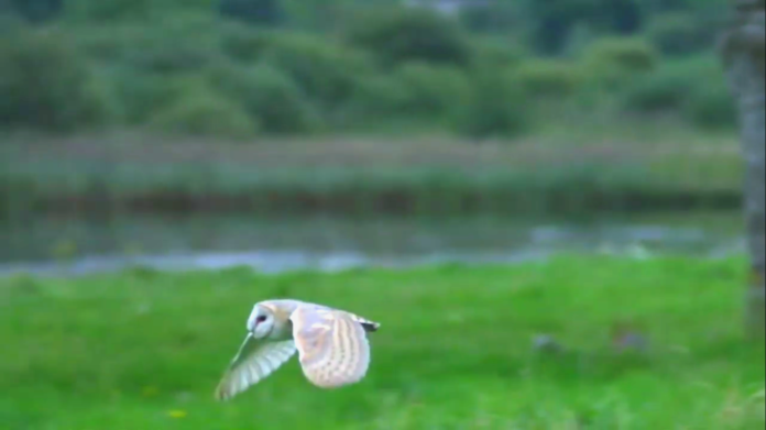 galway daily news barn owl survey in galway